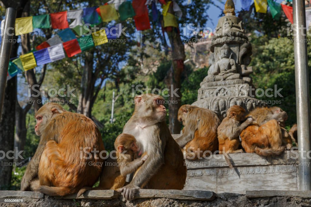 Monkey family in Swayambhunath temple stock photo