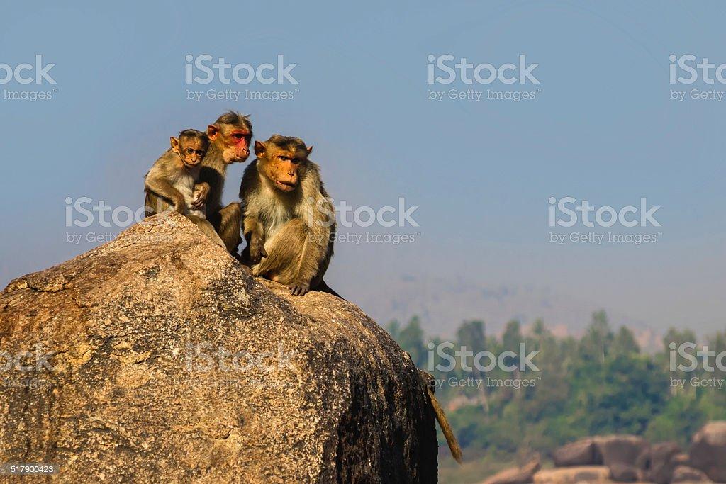 Monkey family in the mountain stock photo
