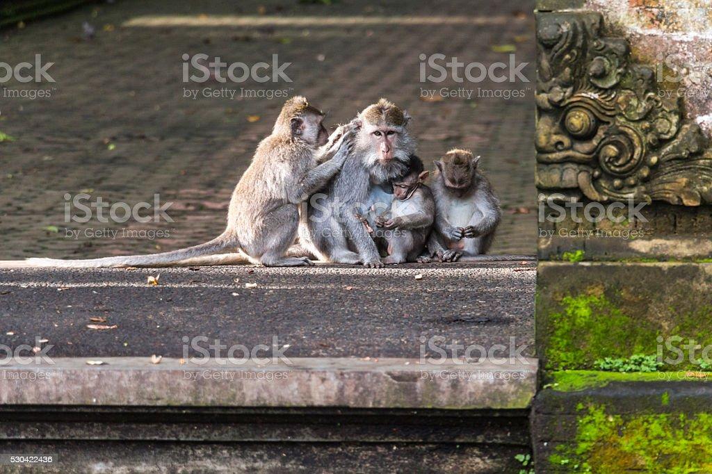 Monkey family on Bali stock photo
