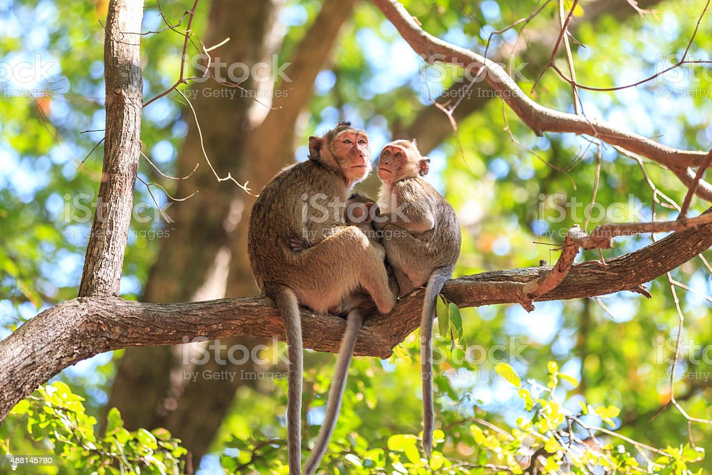 Monkey family (Crab-eating macaque) on tree in Thailand stock photo