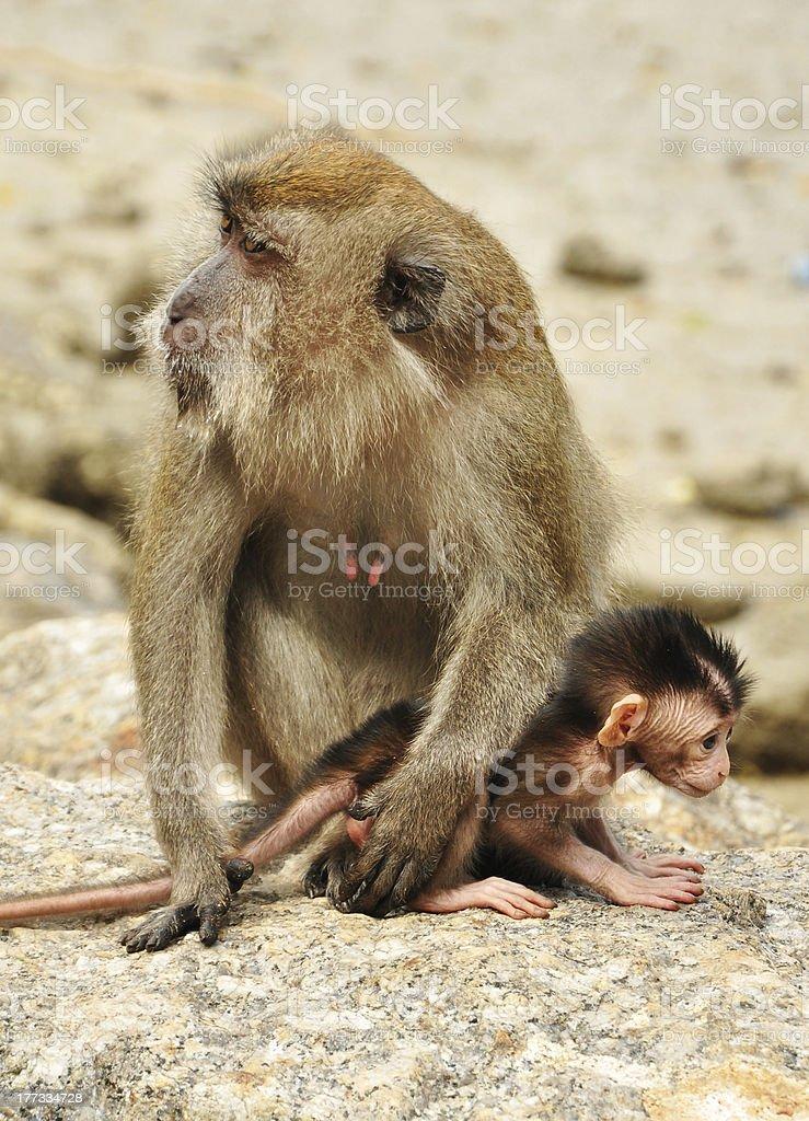 Monkey family royalty-free stock photo