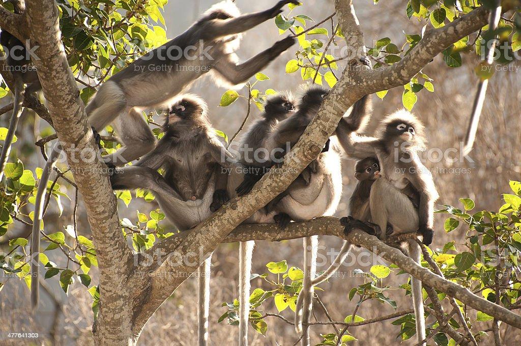 Monkey family resting in morning ( Presbytis obscura reid ). royalty-free stock photo