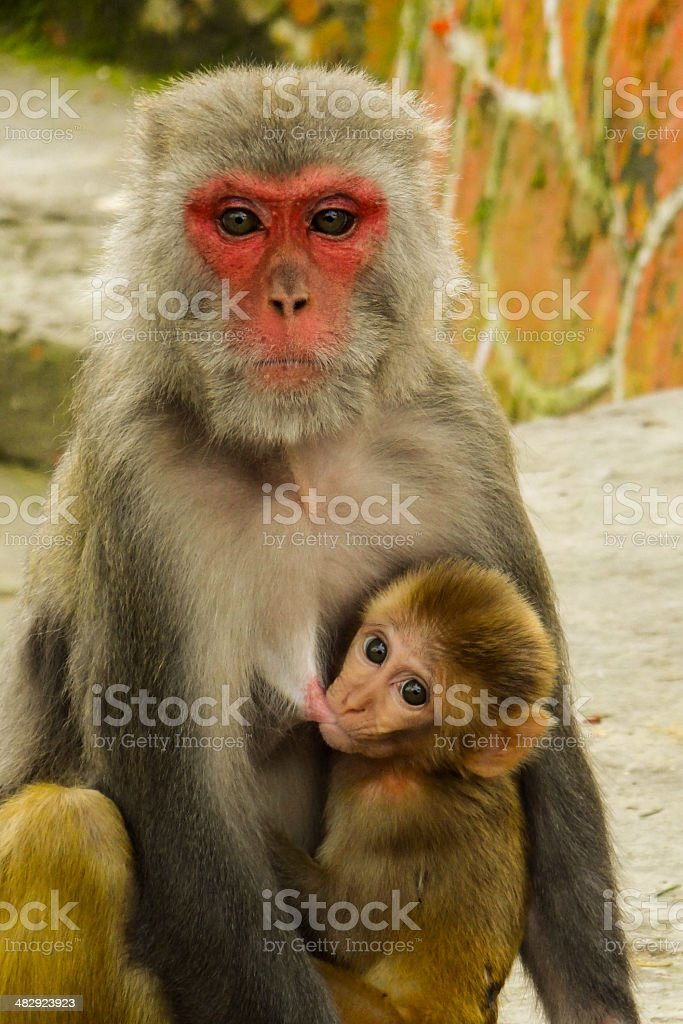 Monkey Feeding Her Baby At The Monkey Temple stock photo