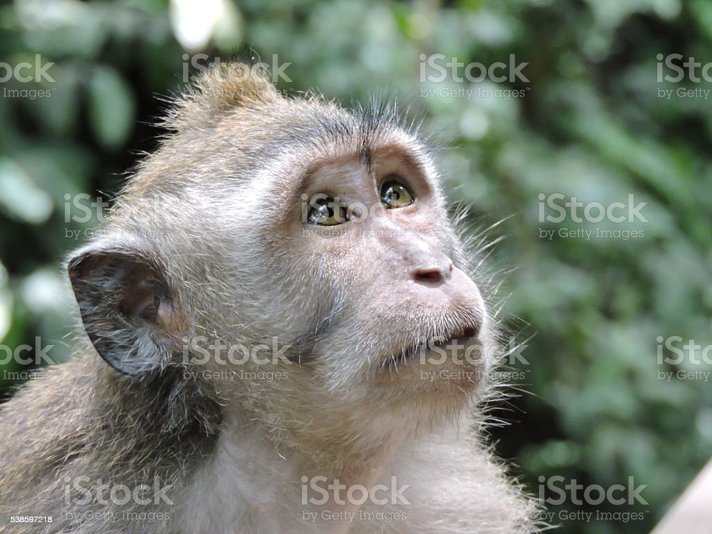 Monkey forest Bali stock photo