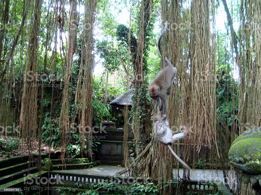 Monkey forest in Ubud, Bali stock photo