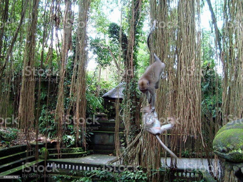 Monkey forest in Ubud, Bali stock photo