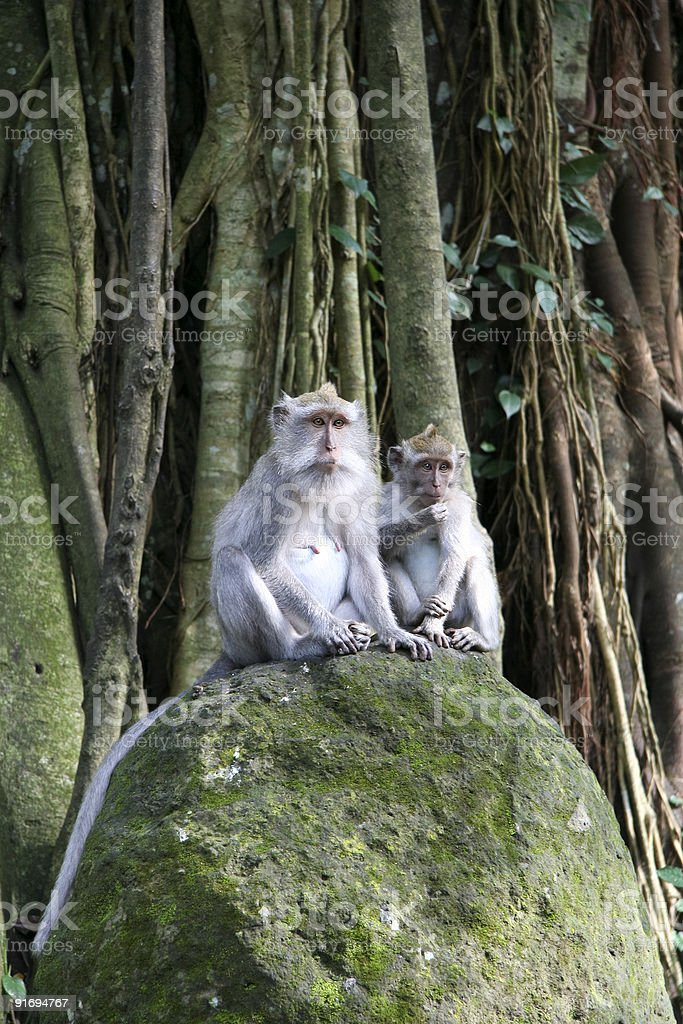 monkey forest ubud bali royalty-free stock photo