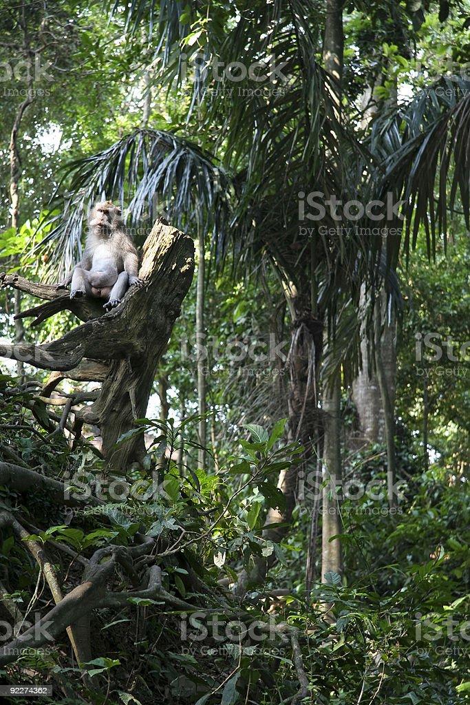 monkey forest ubud royalty-free stock photo