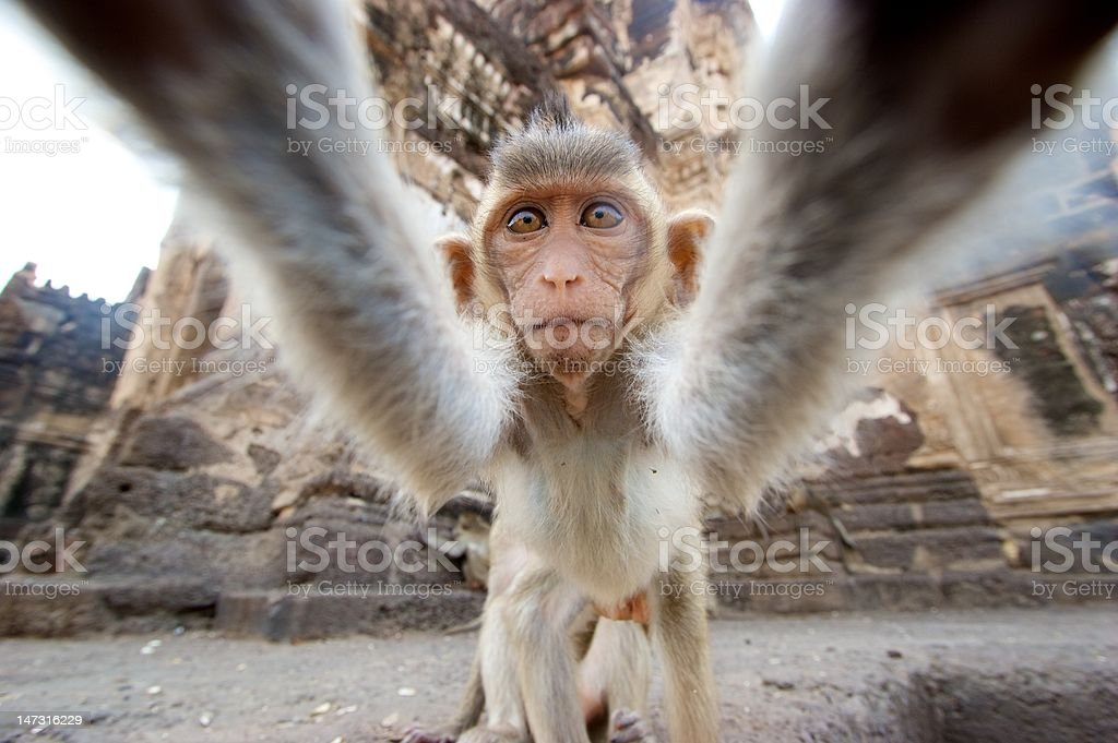 Monkey grabbing camera close–up stock photo