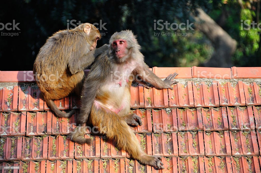 Monkey grooming and picking lice and fleas in Swayambhunath Temple, Kathmandu stock photo