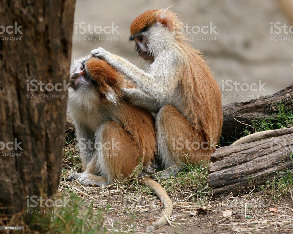 Monkey Grooming royalty-free stock photo