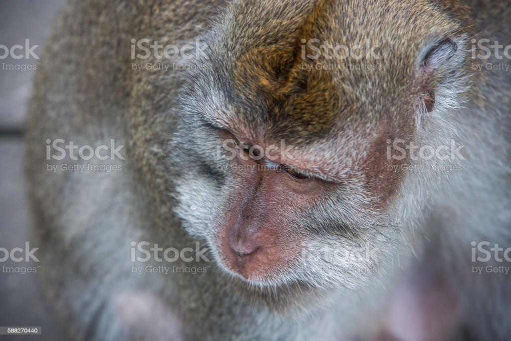 monkey head detail stock photo