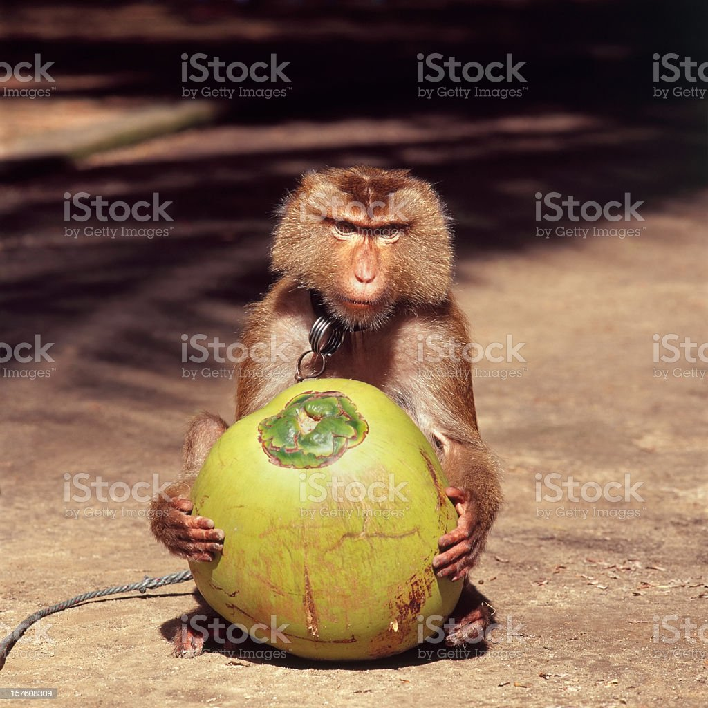 Monkey holding a fresh coconut. royalty-free stock photo