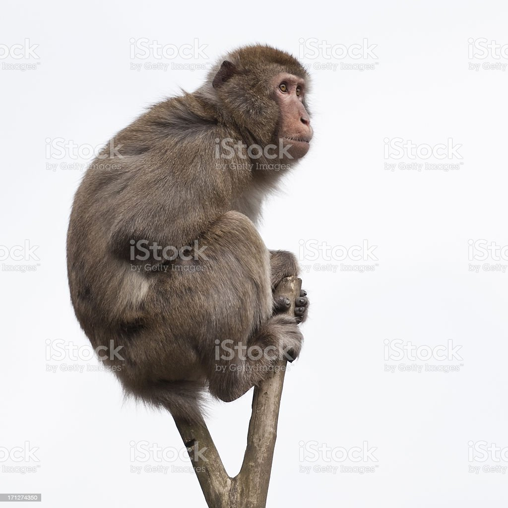 monkey in a bare treetop stock photo