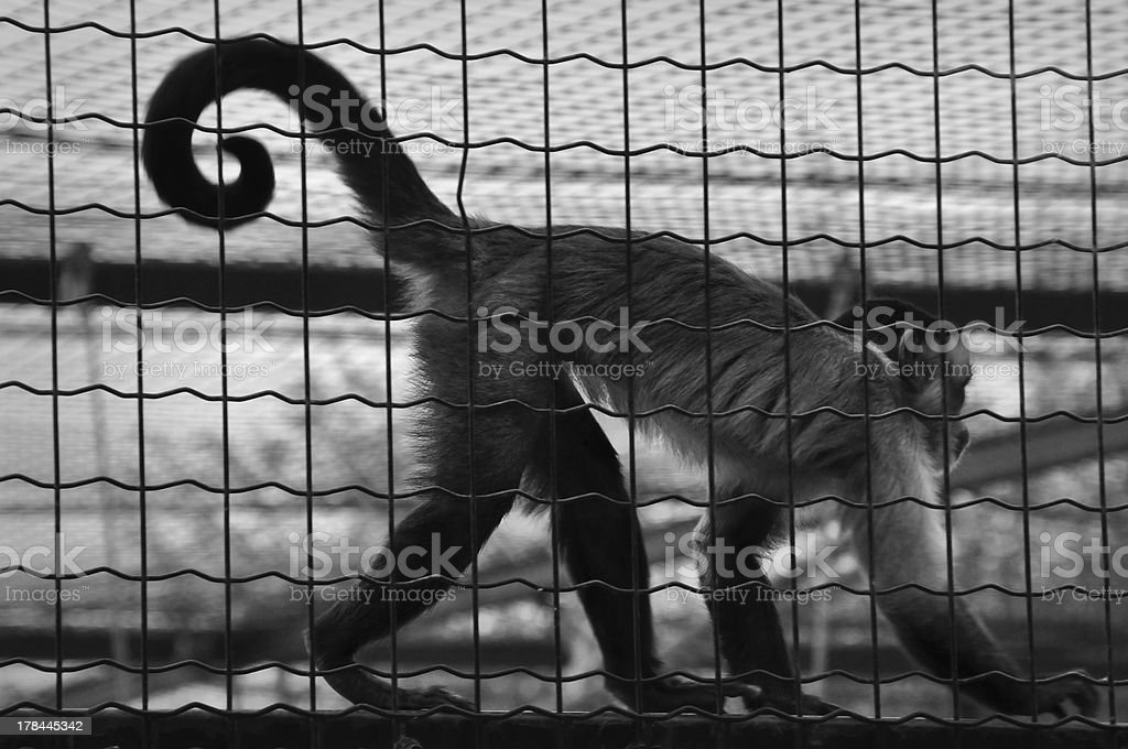 monkey in a cage royalty-free stock photo
