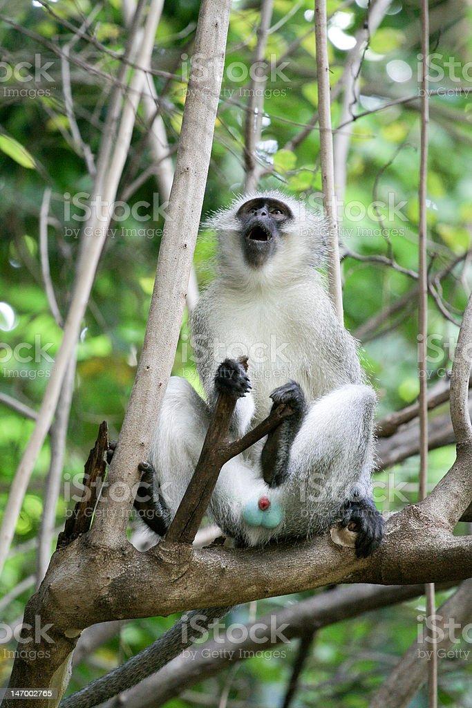 Monkey in a tree stock photo