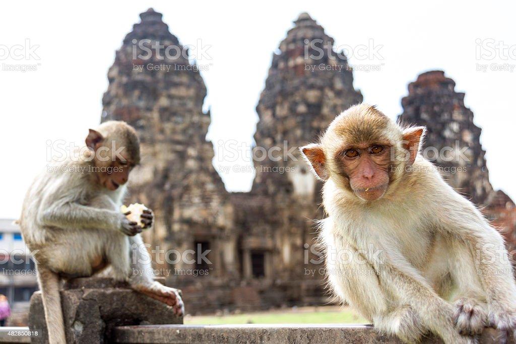 monkey in ancient pagoda architecture Wat Phra Prang Sam Yot stock photo