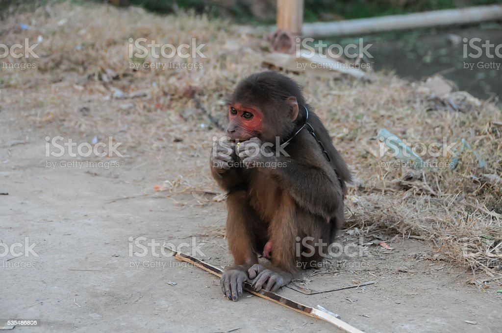 Monkey in Chains in Vietnam stock photo