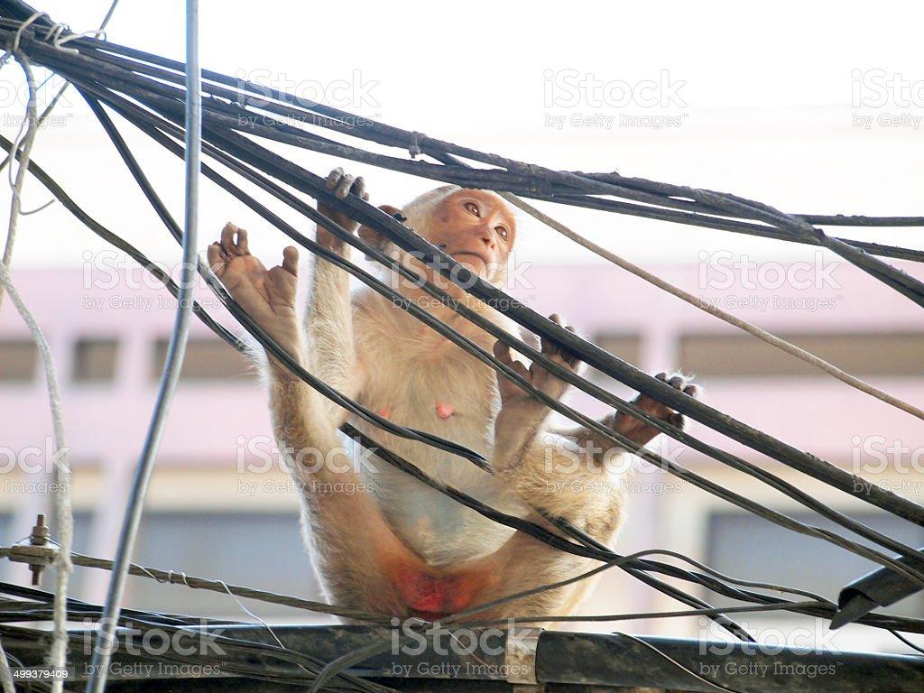 Monkey in Lop Buri Province Thailand stock photo