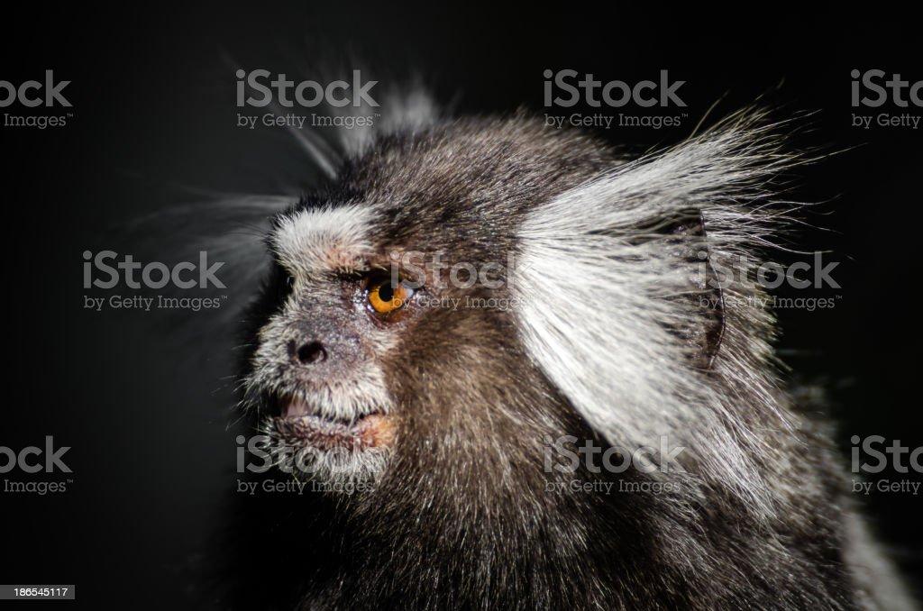 Monkey in Rio de Janeiro stock photo