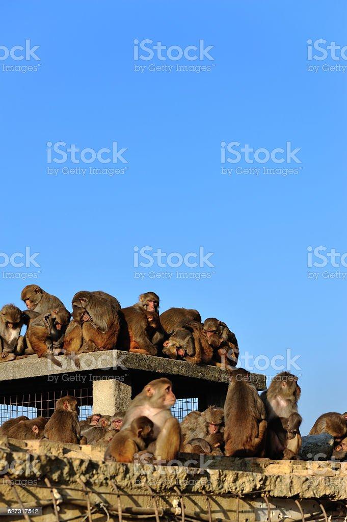 Monkey in Swayambhunath, Kathmandu, Nepal stock photo
