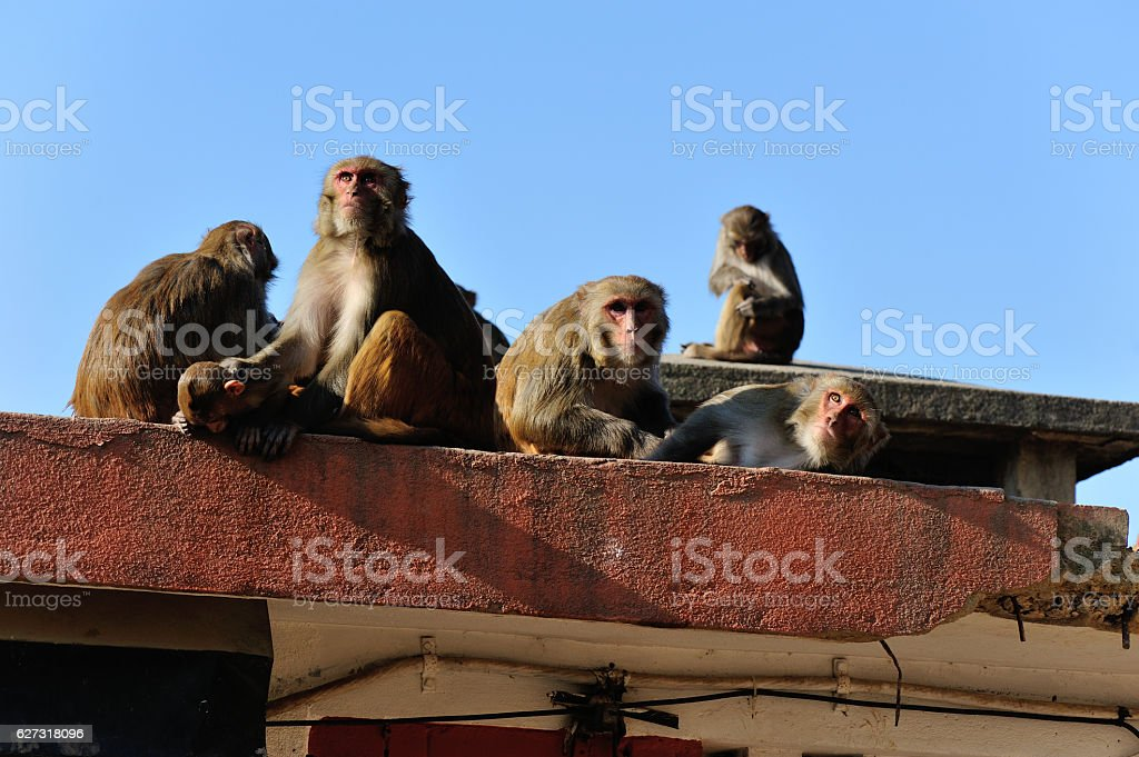 Monkey in Swayambhunath, Kathmandu, Nepal stock photo