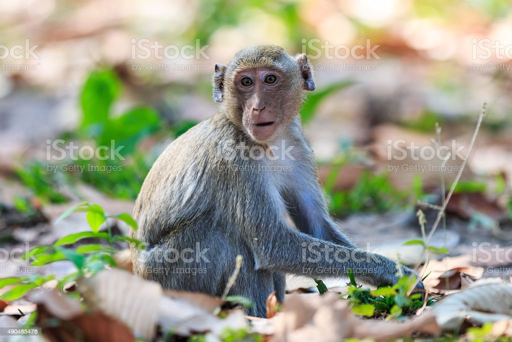 Monkey (Crab-eating macaque) in Thailand stock photo