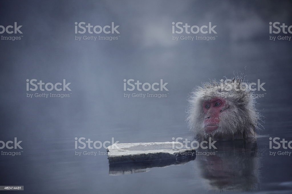 Monkey in the open air bath stock photo