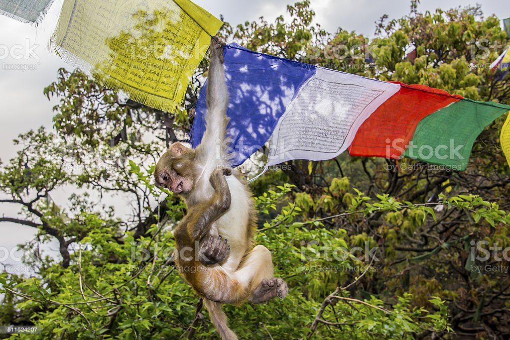 monkey in the prayer flags stock photo
