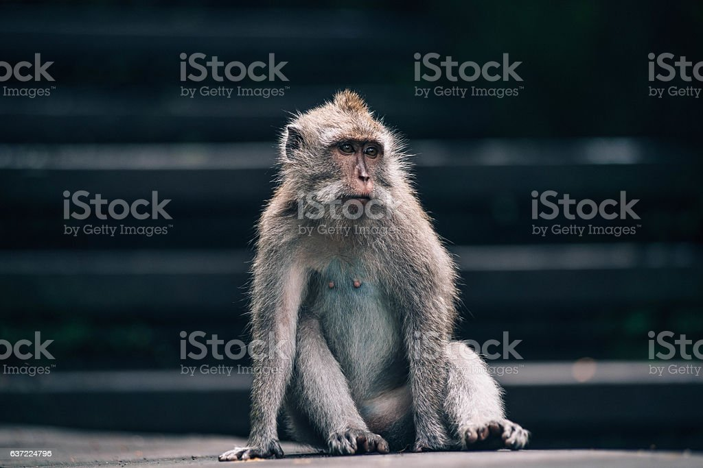 Monkey in Ubud stock photo