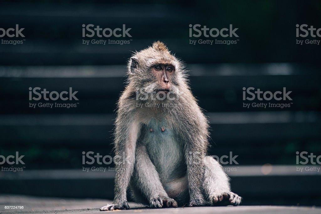 Monkey in Ubud stock photo