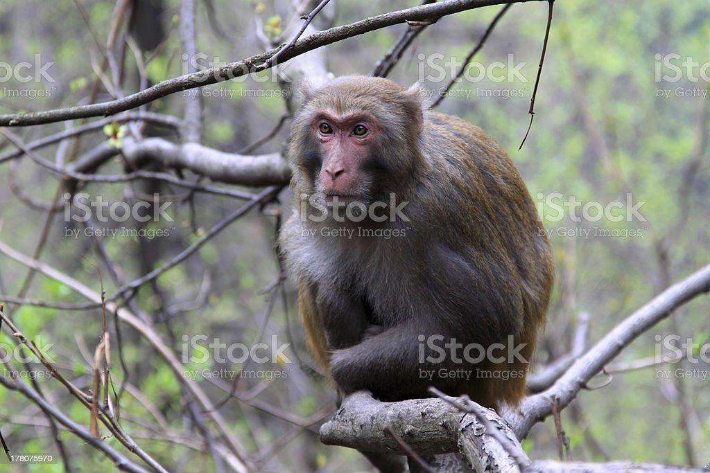 Monkey in Zhangjiajie National Geological Park stock photo