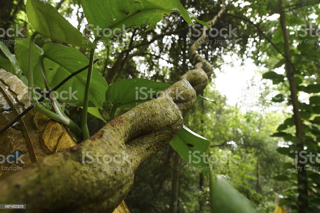 Monkey Ladder lianas (Bauhinia sp.) in tropical rain forest stock photo