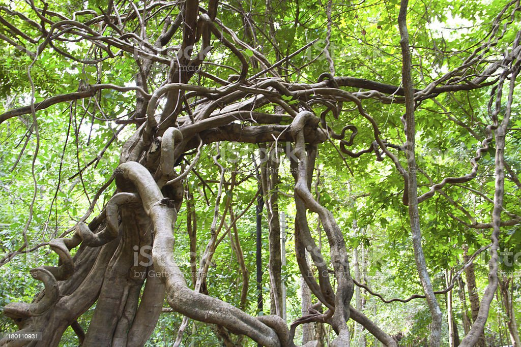 Monkey Ladder lianas (Bauhinia sp.) in tropical rain forest Thai stock photo