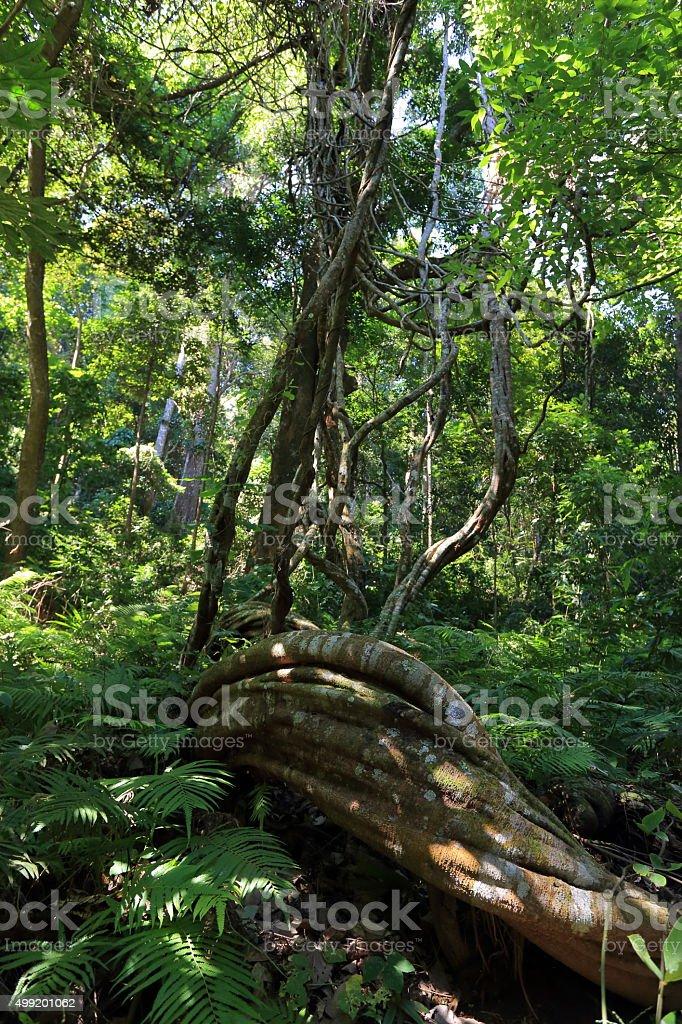 Monkey Ladder lianas (Bauhinia sp.) stock photo