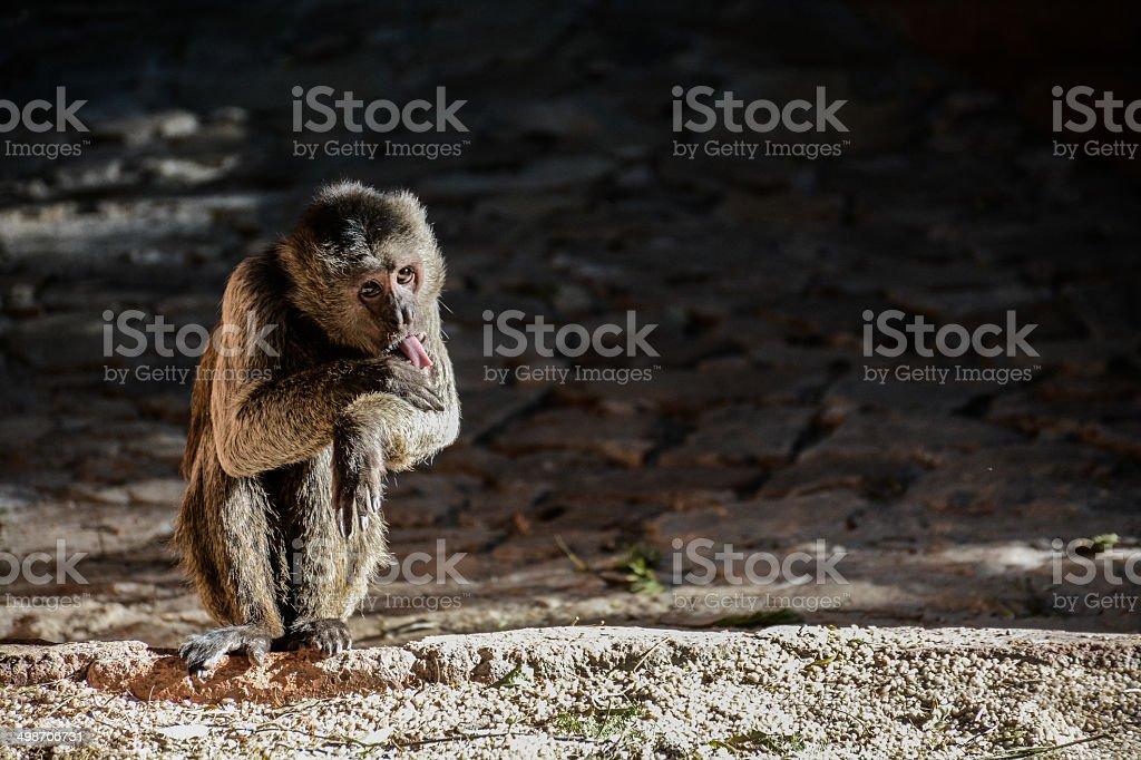 Monkey licking wound stock photo