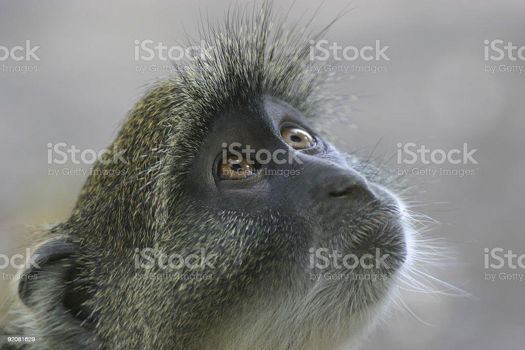 Monkey Look royalty-free stock photo