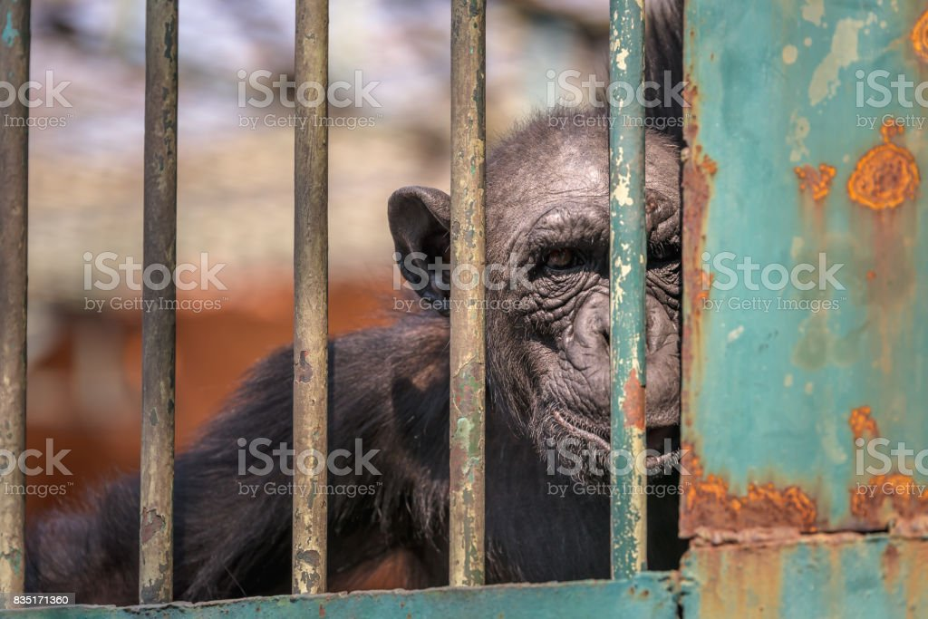 Monkey looks at camera in zoo, Staring monkey look though the cage stock photo