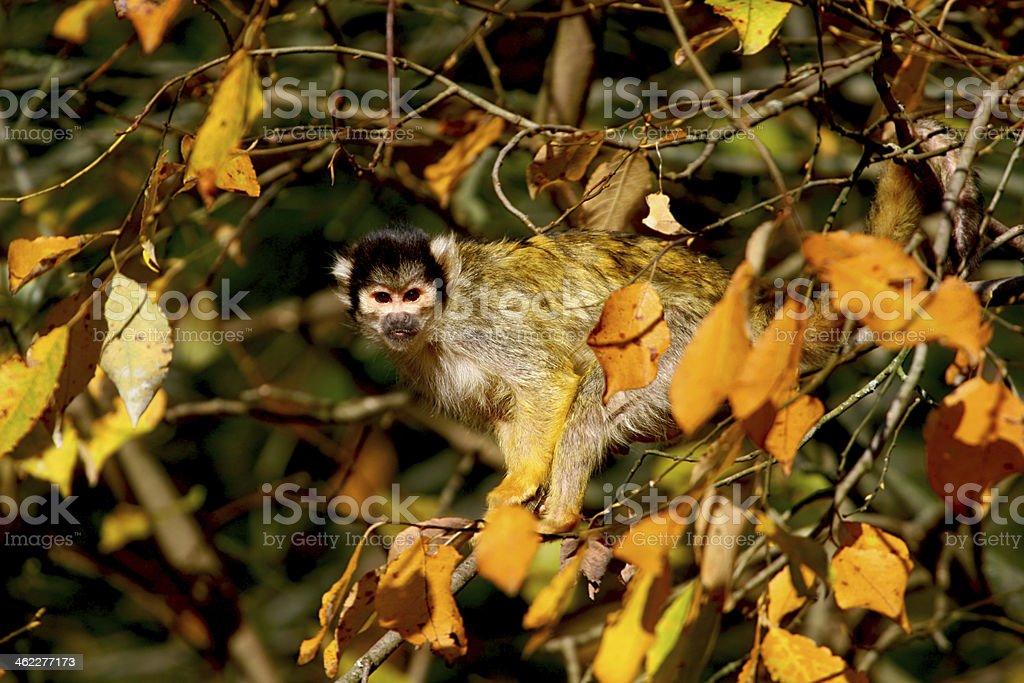 monkey marmoset stock photo
