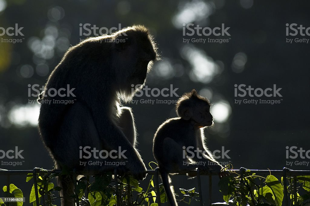Monkey mother and child in backlight royalty-free stock photo