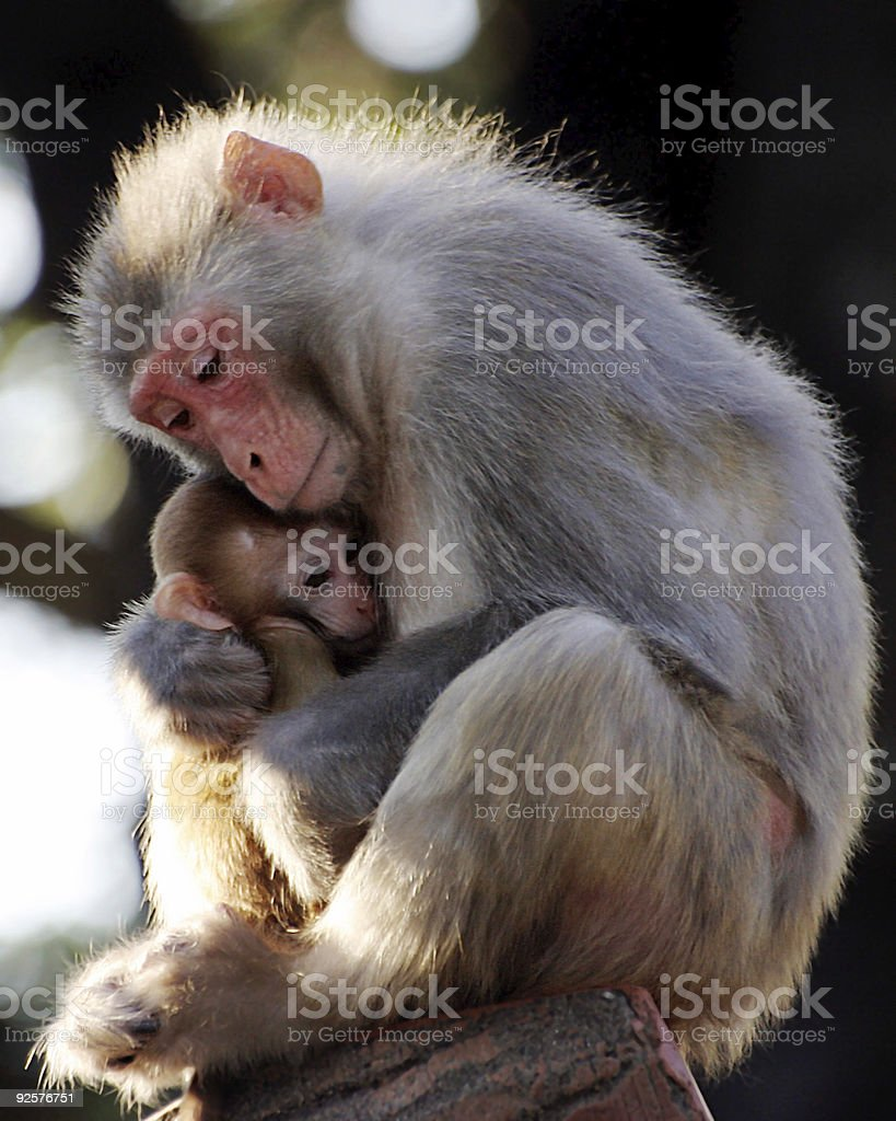 Monkey mother hugging her baby stock photo