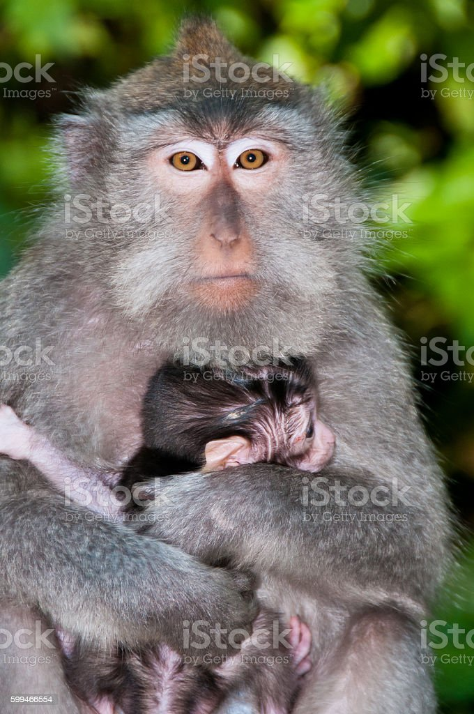 Monkey Mother hugs Baby Protectively stock photo