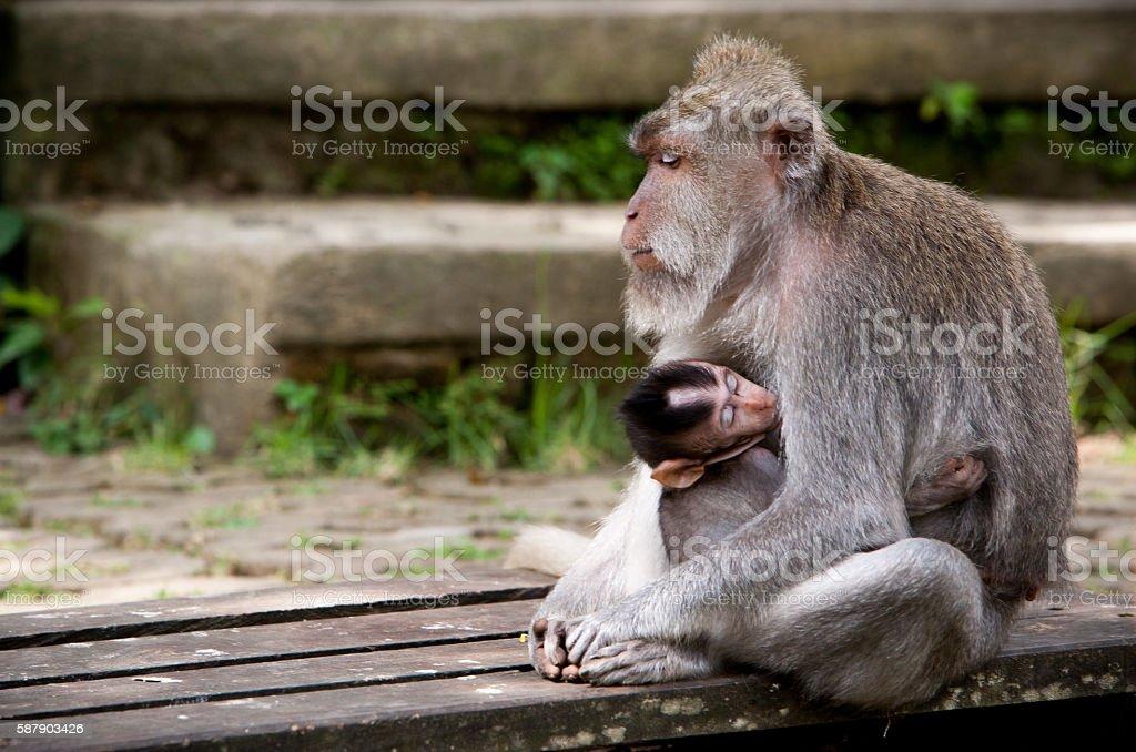 Monkey mother stock photo