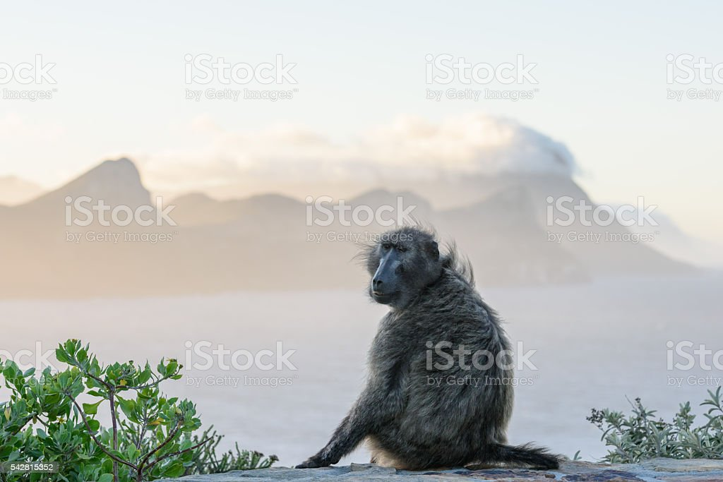 Monkey near Cape Poin in Cape Town, South Africa stock photo