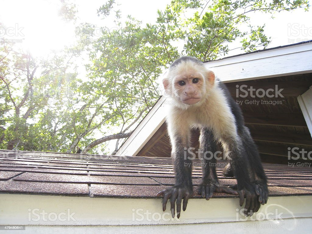 Monkey on a roof stock photo