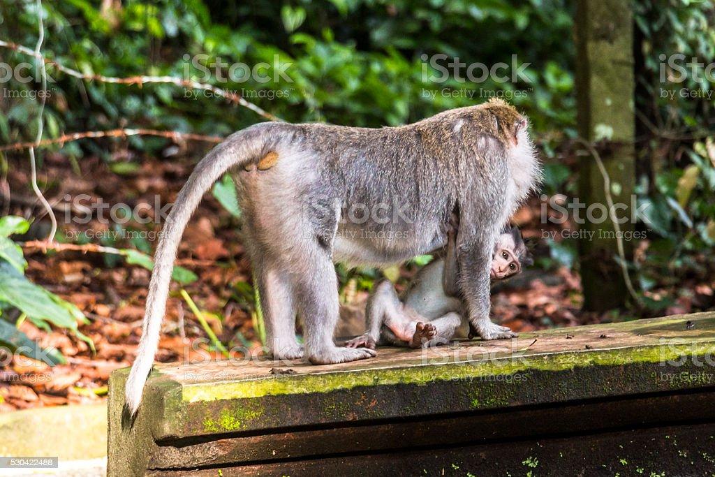 Monkey on Bali carrying his baby stock photo