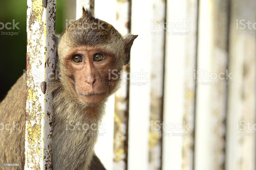 Monkey on the gate royalty-free stock photo