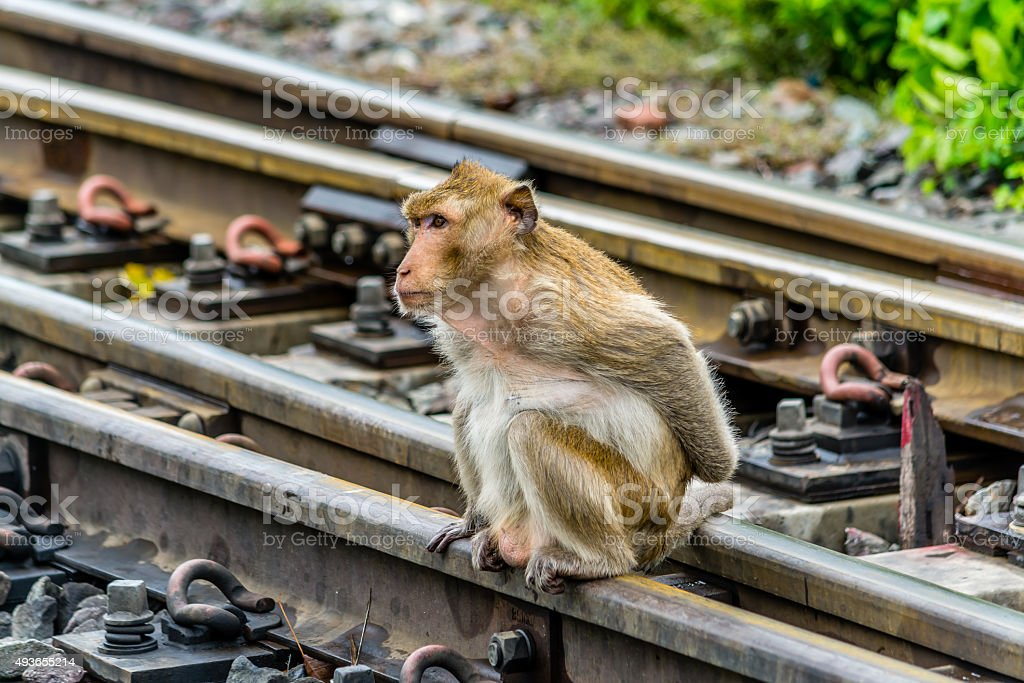 Monkey on the railway, Lopburi Thailand. stock photo