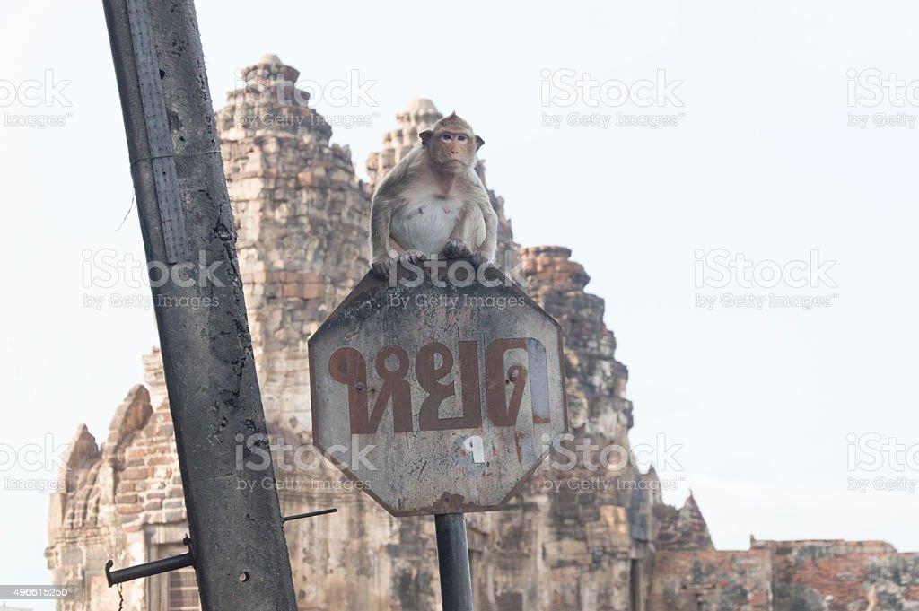 monkey on traffic sign in Phra Prang Sam Yod stock photo