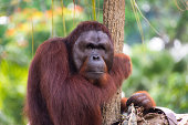Monkey Orangutan in wildlife.